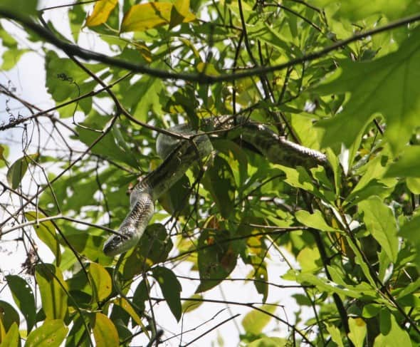 Rat Snake in a Tree